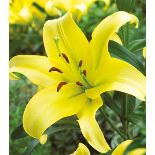 Óriás liliom - YELLOWEEN