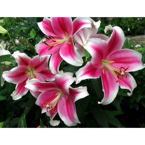 PINK BRILLIANT liliom