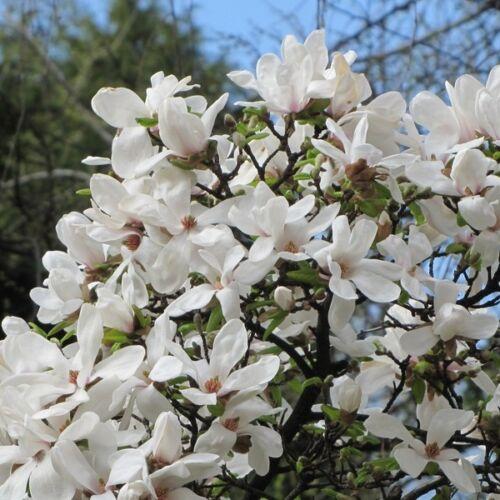 Magnolia KOBUS - Japán liliomfa