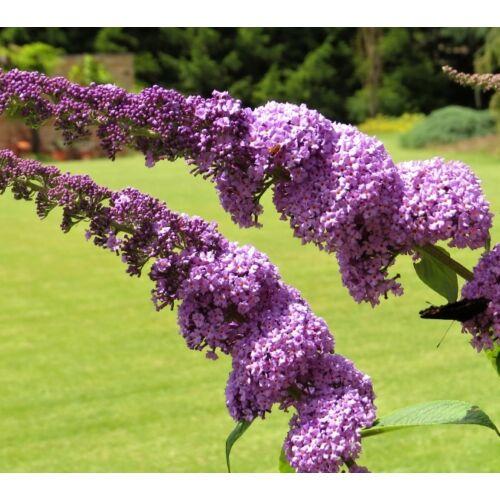 Nyári orgona ORCHID BEAUTY