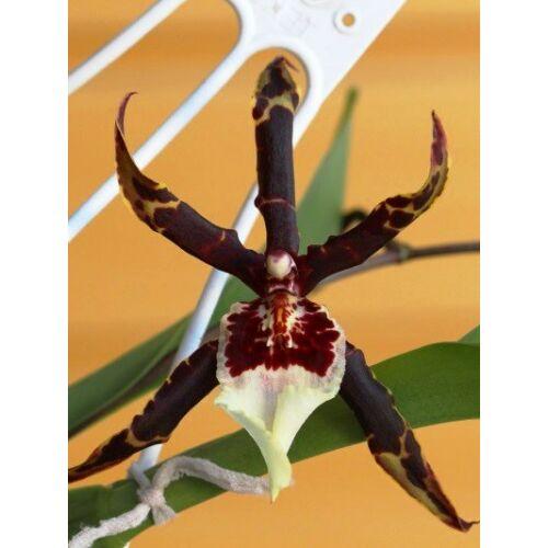 Beallara Torero (Fiatal növ.)