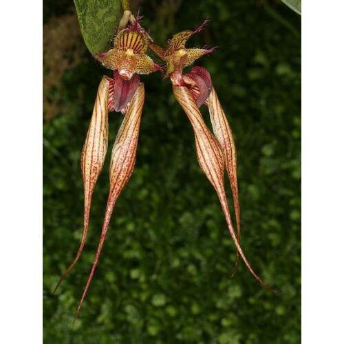 Cirrhopetalum bicolor x Elisabeth Ann Buckleberry