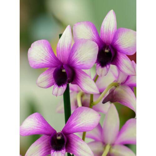 Dendrobium Sa-Nook 'Polar Fire'