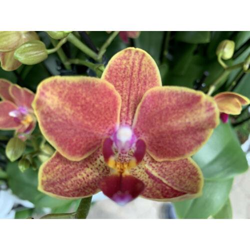 Doritaenopsis Sogo Allen