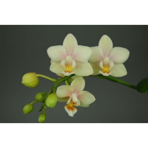 Doritaenopsis Sogo Bianca