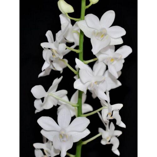 Doritis pulcherrima 'alba' (Fiatal növ.)