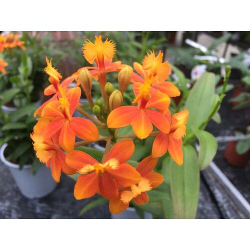Epidendrum Ballerina 'Orange'