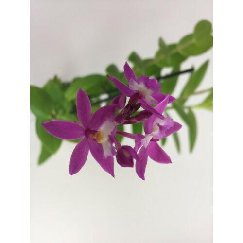 Epidendrum Ballerina 'Rosy'