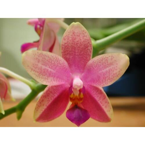 Phalaenopsis Liodoro (1 virágszár)