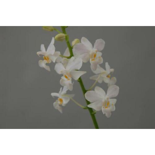 Doritis pulcherima alba (1 virághajtás)
