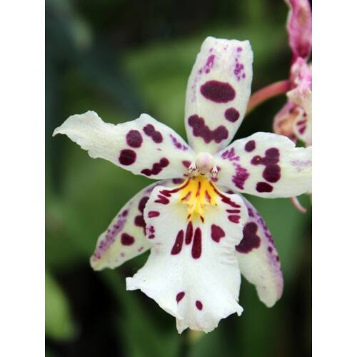 Odontoglossum Nippon (Fiatal növ.)