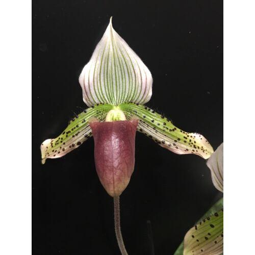 P. callosum x sukhakulii (1 virágszár)