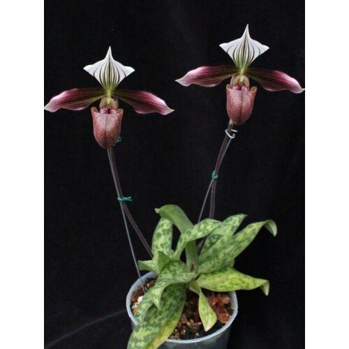 Paphiopedilum purpuratum (Fiatal növ.)