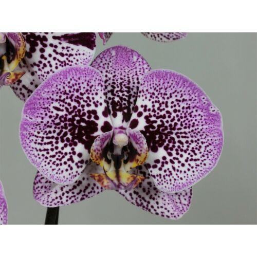 Phalaenopsis Andorra