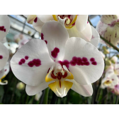 Phalaenopsis Clementine