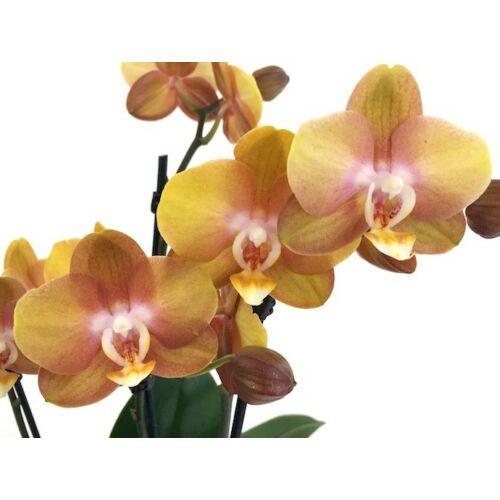 Phalaenopsis Las Vegas 'Bronze'