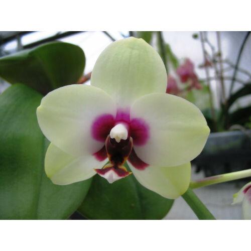 Phalaenopsis Nobby 'Shadowy Nobby'