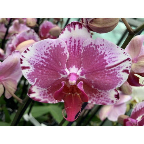 Phalaenopsis Veronique