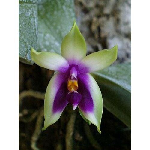 Phalaenopsis violacea 'Borneo Type'