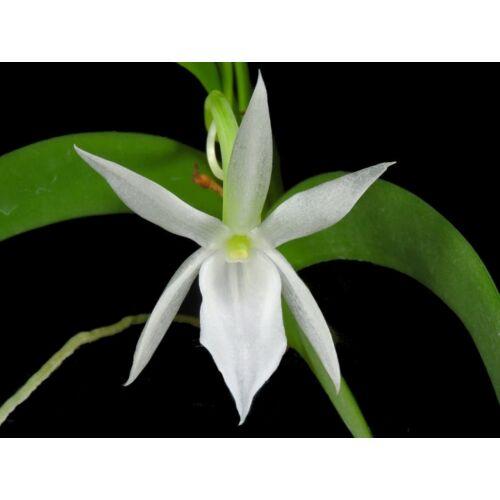 Angraecum leonis fiatal orchidea tő