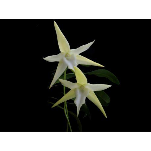 Angraecum sesquipedale fiatal orchidea tő