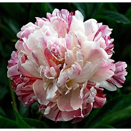 Botanikai Peonia 'Candy Stripe'
