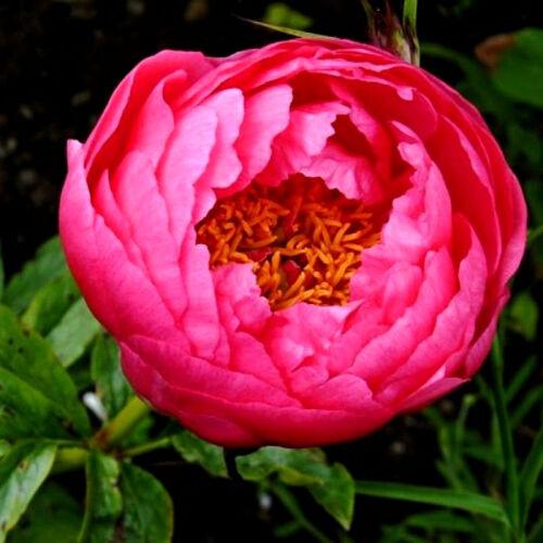 Botanikai Peonia 'Cytherea'