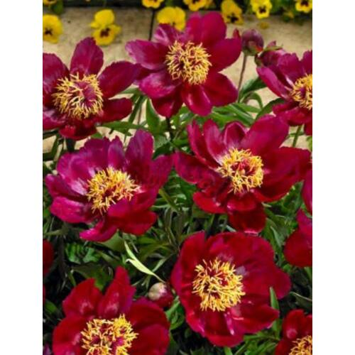 Botanikai Peonia 'Early Scout'
