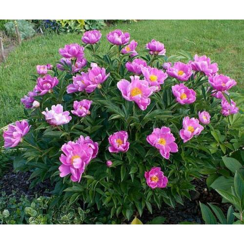 Botanikai Peonia 'Little Medicineman'