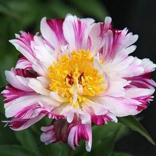 Botanikai Peonia 'Pink Luau'