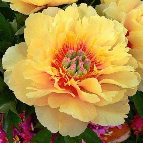 Félfás Peonia 'Garden Treasure'