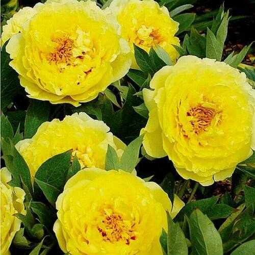 Félfás Peonia 'Yellow Crown'