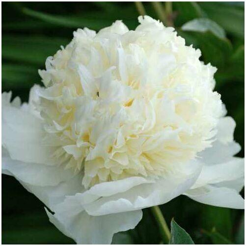 Peonia 'Charle's White'