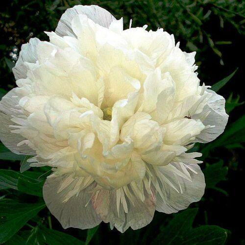 Pünkösdi rózsa 'Alba Plena'