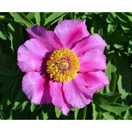 Pünkösdi rózsa 'Mollis'