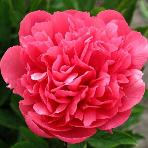 Pünkösdi rózsa 'Delaware Chief'