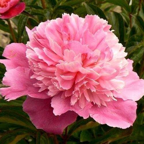 Peonia 'Bouquet Perfect'