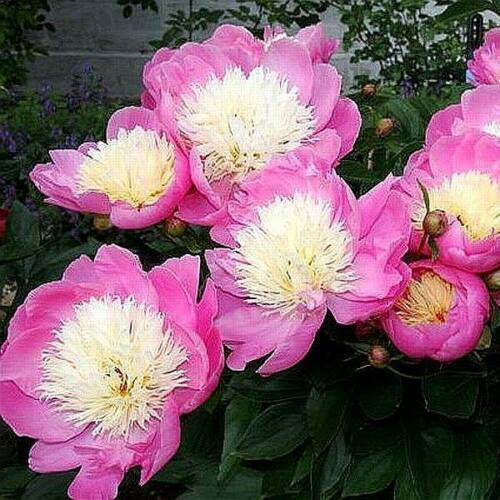 Peonia 'Bowl of Beauty'
