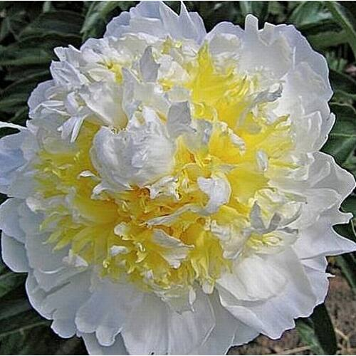 Peonia 'Cheddar Cheese'