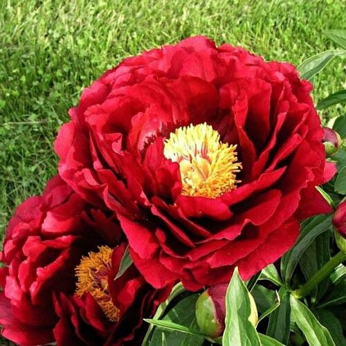 Peonia 'Chief Justice'