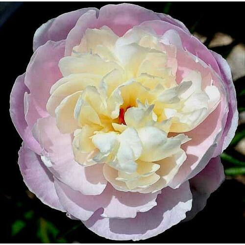 Peonia 'Couronne D'or'