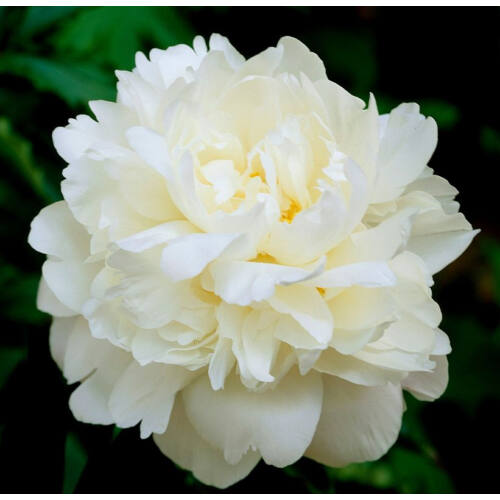 Peonia 'Crousse Blanche'