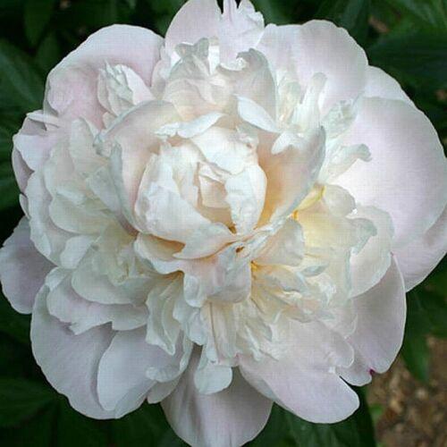 Peonia 'Gardenia'