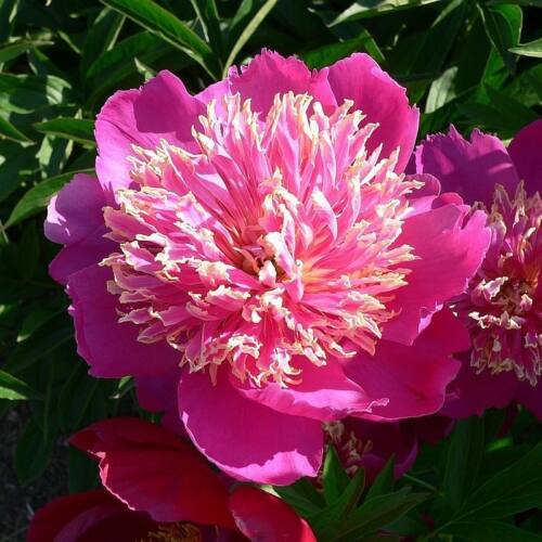 Peonia 'Hit Parade'