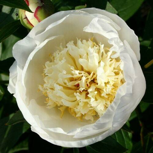 Peonia 'Immaculee'