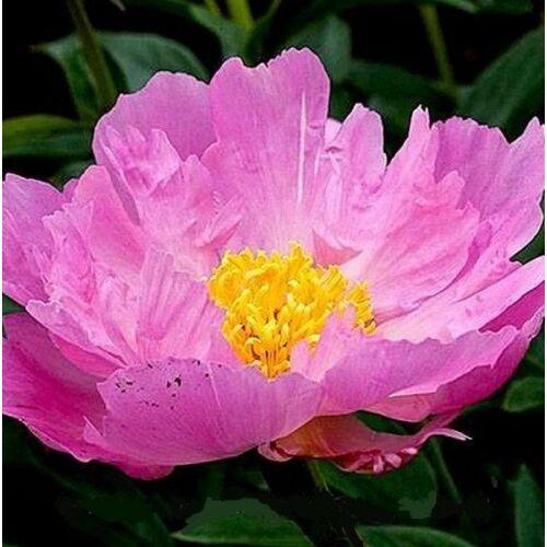 Peonia 'Pink Dawn'