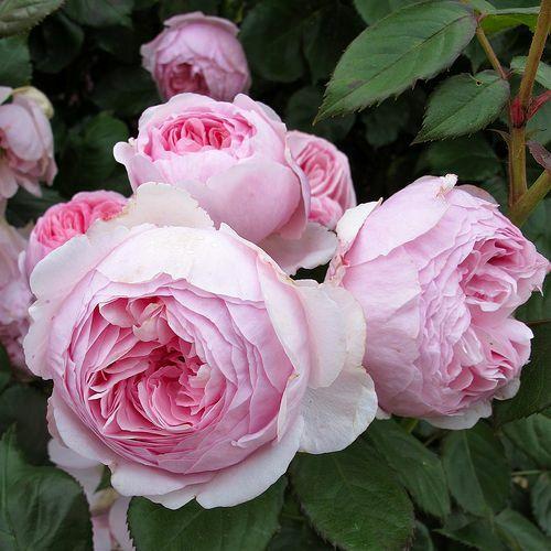 Geoff Hamilton - David Austin angol rózsa