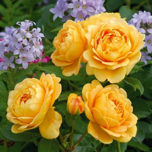 Golden Celebration- David Austin angol rózsa