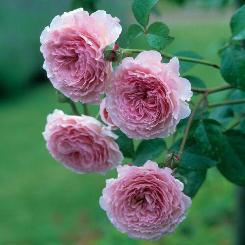 James Galway- David Austin angol rózsa