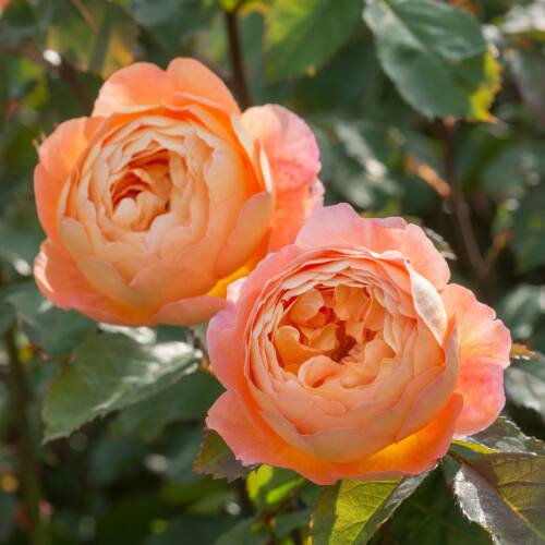 Lady Emma Hamilton - David Austin angol rózsa